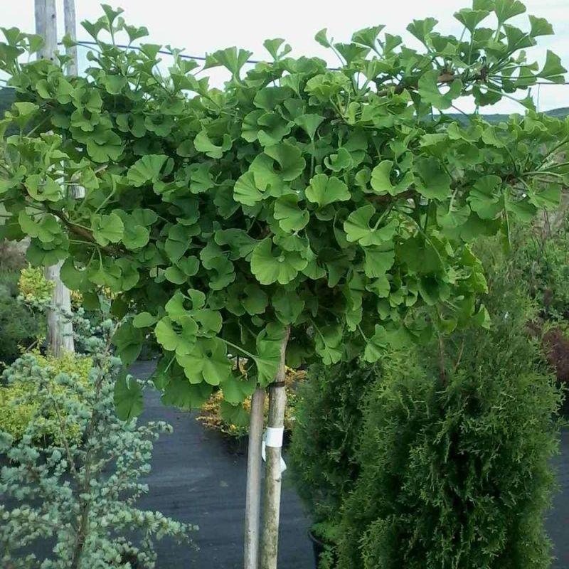 гинкго билоба фото растения