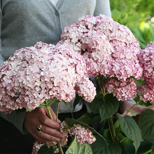 Гортензия Древовидная/ Hydrangea arborescens